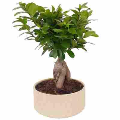 Zimmerbonsai Ficus Ginseng im cremefarbenen Keramiktopf Ø 22 cm