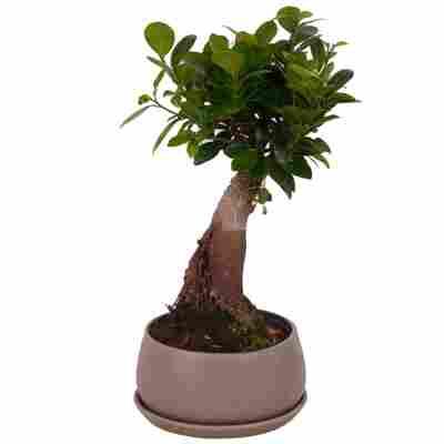 Zimmerbonsai Ficus Ginseng im grauen Betontopf Ø 17 cm