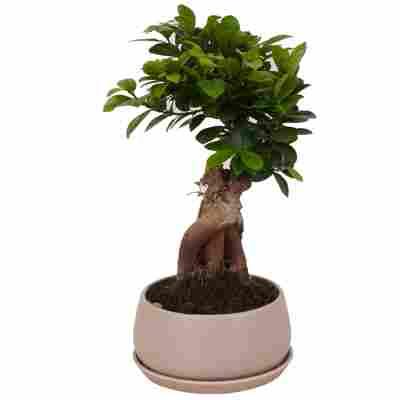 Zimmerbonsai Ficus Ginsengim hellgrauen Betontopf Ø 17 cm