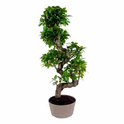Zimmerbonsai Ficus Ginseng mit S-Form im Keramiktopf Ø 22 cm