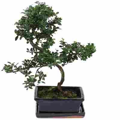 Gartenbonsai Azalea mit Keramikschale und Untersetzer 15 cm