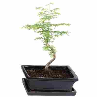 Gartenbonsai Urweltmammutbaum mit Keramikschale und Untersetzer 15 cm