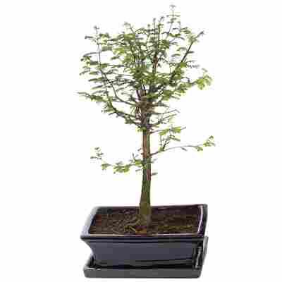 Gartenbonsai Urweltmammutbaum mit Keramikschale und Untersetzer 25 cm