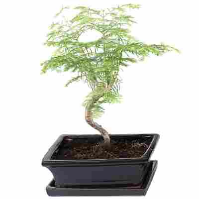 Gartenbonsai Urweltmammutbaum mit Keramikschale und Untersetzer 20 cm