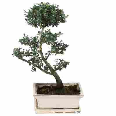Gartenbonsai Azalea mit Keramikschale und Untersetzer 25 cm
