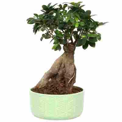 Zimmerbonsai Chinesische Feige 'Ginseng' mit grünem Keramiktopf Ø 22 cm