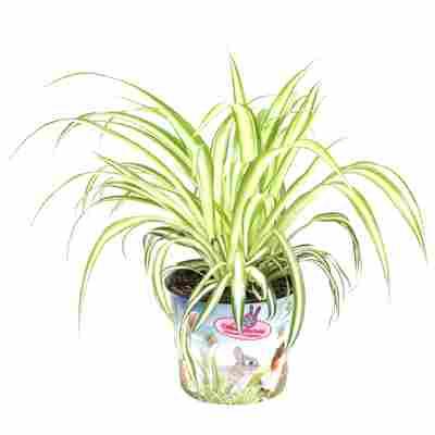 Tierfutterpflanze Grünlilie 'Variegatum' 12 cm Topf
