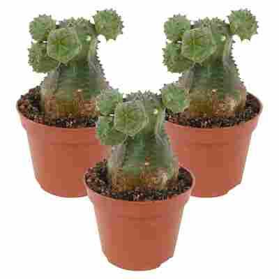 Euphorbia susannae 6 cm Topf, 3er-Set