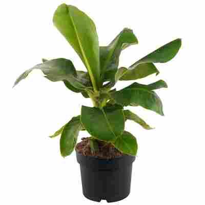 Banane 'Oriental Dwarf' 24 cm Topf
