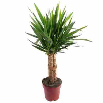 Yucca 'Tres Canas' 24 cm Topf