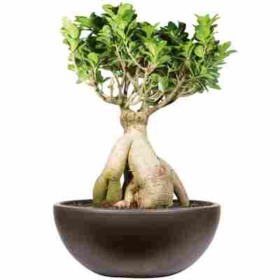 Zimmerbonsai Ficus 'Ginseng' in Schale Salsa schwarz 30 cm