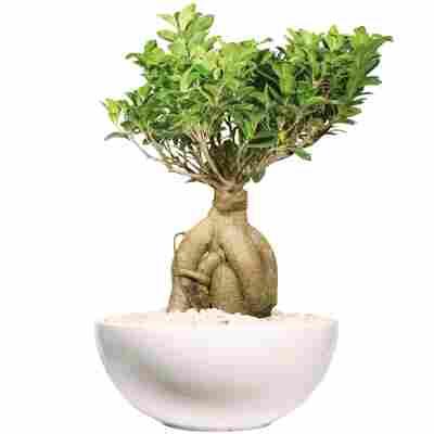 Zimmerbonsai Ficus 'Ginseng' in Schale Salsa weiß 30 cm