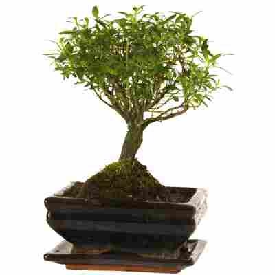 Zimmerbonsai Junischnee in Keramikschale braun mit Untersetzer 15 cm