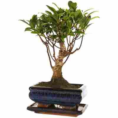 Zimmerbonsai Ficus in Keramikschale blau mit Untersetzer 15 cm