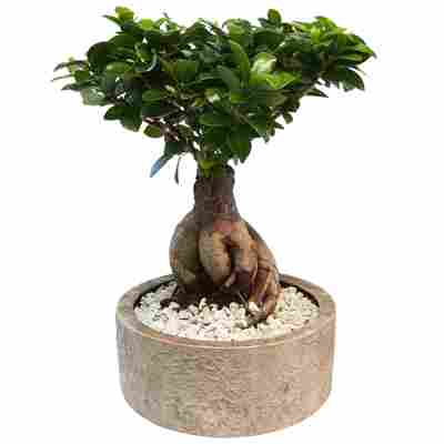 Zimmerbonsai Ficus 'Ginseng' in Keramiktopf Porto braun 20 cm