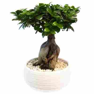 Zimmerbonsai Ficus 'Ginseng' in Keramiktopf Porto weiß 20 cm