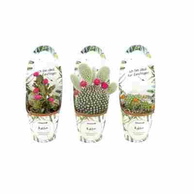 Kaktus, 5,5 cm Topf