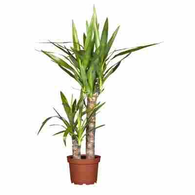 "Palmlilie ""Yucca"""