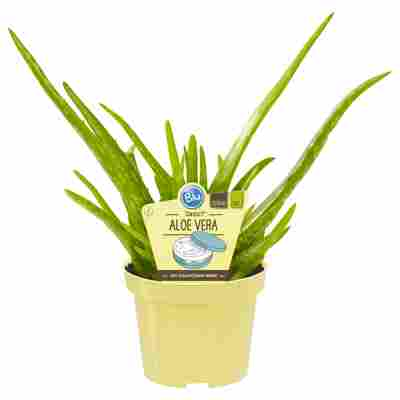 Bio-Aloe Vera 'Sweet' 12 cm Topf