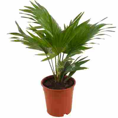 Livingston-Palme 17 cm Topf