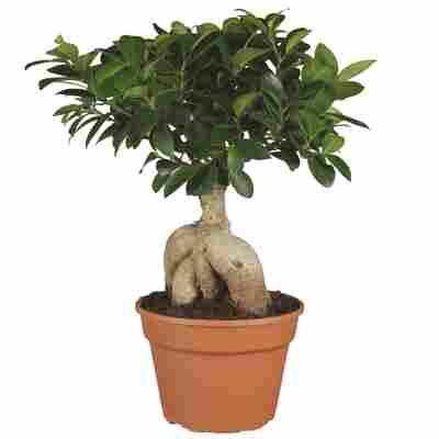 Zimmerbonsai Ficus Ginseng 17 cm Topf