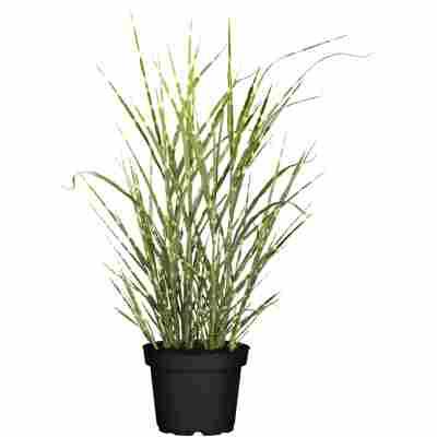 Gräser verschiedene Sorten 23 cm Topf