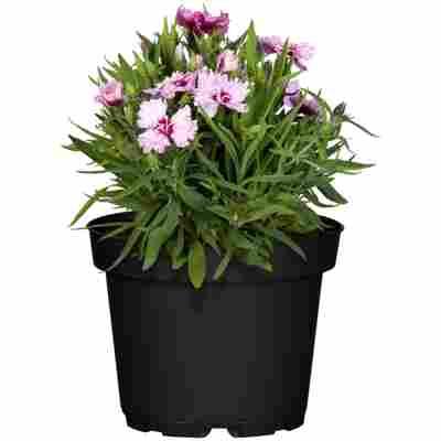 Blütensommer verschiedene Sorten 13 cm Topf