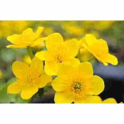 Gelbe Sumpfdotterblume, 11 cm Topf