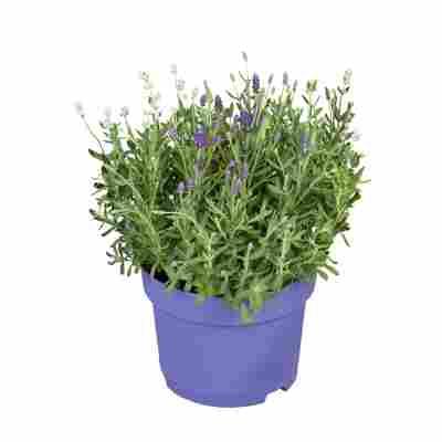 Lavendel 19 cm Topf