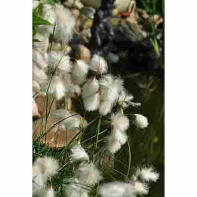 Schmalblättriges Wollgras, 9 x 9 cm Topf, 3er-Set
