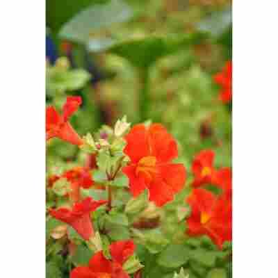 Gauklerblume 'Roter Kaiser', 9 x 9 cm Topf, 3er-Set