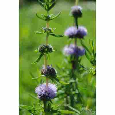 Englische Wasserminze violett, 9x9 cm Topf, 3er-Set