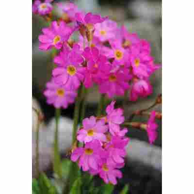 Rosenprimel rosa, 9x9 cm Topf, 3er-Set
