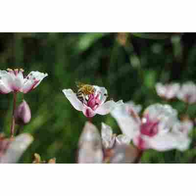 Weiße Blumenbinse 'Alba', 9 x 9 cm Topf, 3er-Set