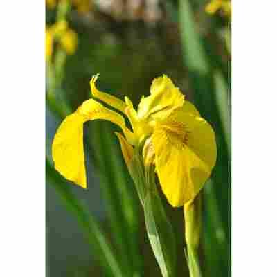 Gelbe Sumpfschwertlilie, 9 x 9 cm Topf, 3er-Set