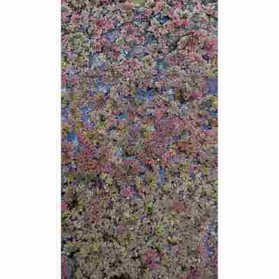 Feenmoos, 11 x 11 cm Topf, 2er-Set