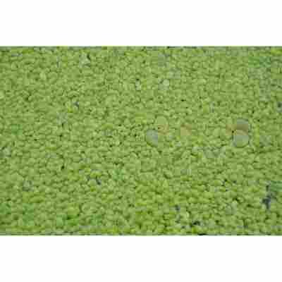 Wasserlinse, 11 x 11 cm Topf, 2er-Set
