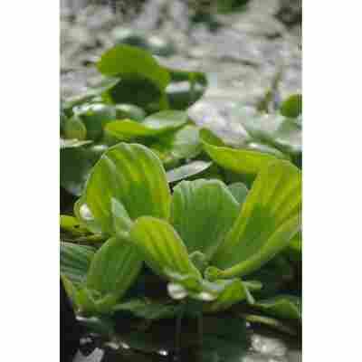 Muschelblume, 11x11 cm Topf, 2er-Set