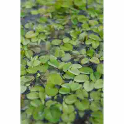 Schwimmfarn, 11x11 cm Topf, 2er-Set