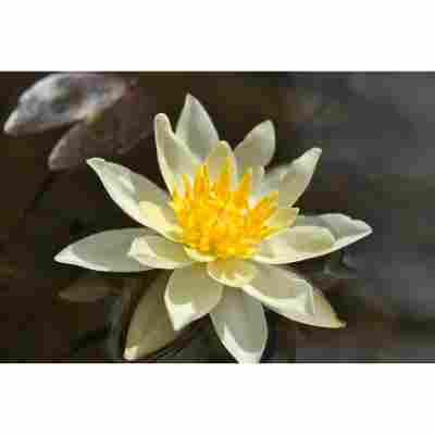 Seerose 'M. Chromatella', 11x11 cm Topf