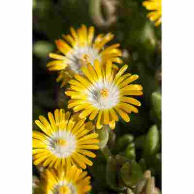 Mittagsblume, 9 cm Topf