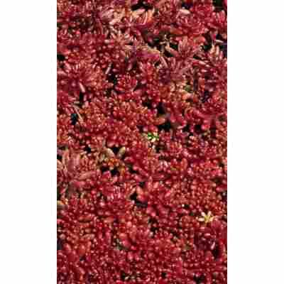 Rotmoossedum 'Coral Carpet', 9 cm Topf, 3er-Set