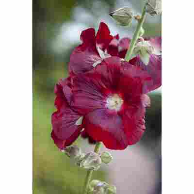 Stockrose 'Pleniflora kirschrot', 9 cm Topf