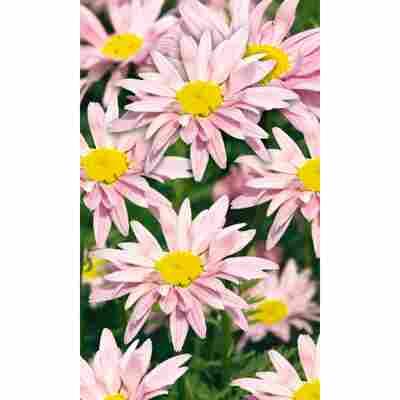 Bunte Staudenmargerite 'Robinsons Rosa', 9 cm Topf