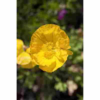 Islandmohn 'Pulcinella Yellow', 9 cm Topf, 3er-Set