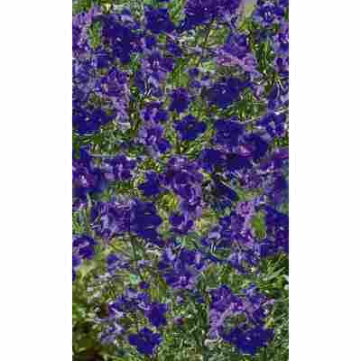 Zwergrittersporn 'Blauer Zwerg', 9 cm Topf