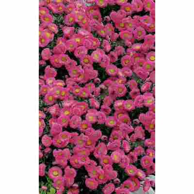 Feinstrahlaster 'Rosa Juwel', 9 cm Topf