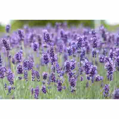 Lavendel 'Hidcote Blue', 9 cm Topf