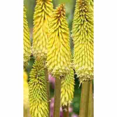 Fackellilie, 9 cm Topf