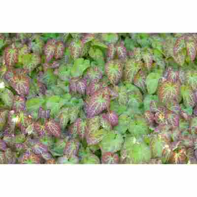 Elfenblume 'Frohnleiten', 9 cm Topf, 3er-Set